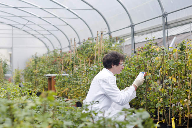 Female Scientist examining roses in greenhouse — Stock Photo