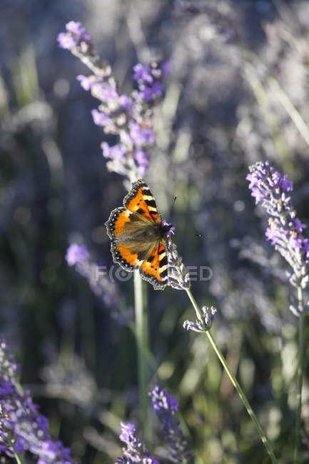 Lavender bloosom with butterfly — Stock Photo
