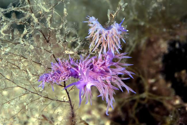 Croacia, Mediterráneo violeta eólico, Flabellina affinis molusco - foto de stock