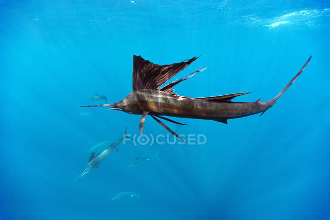 Close-up of Indo-Pacific sailfish floating underwater — Stock Photo