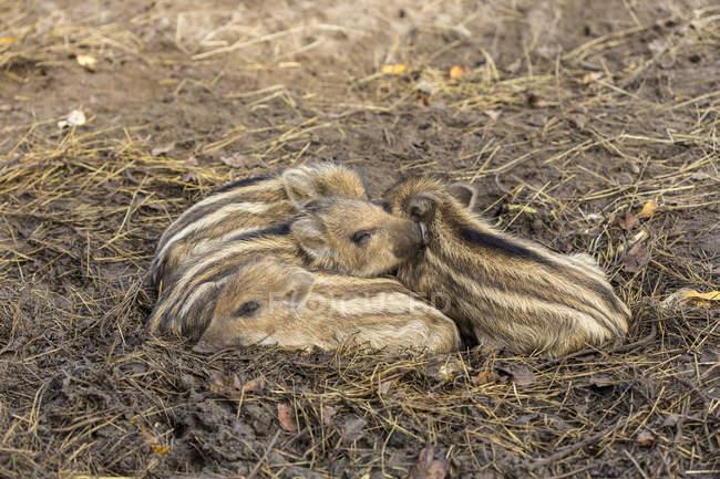 Чотири спальні кабана поросята над соломи — стокове фото