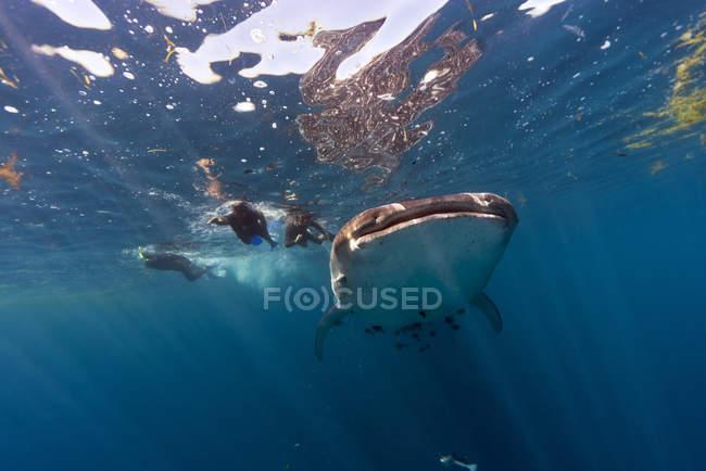 Мексика, Юкатан, Исла-Мухерес, Карибское море, китовые акулы, Rhincodon typus и водолазов — стоковое фото