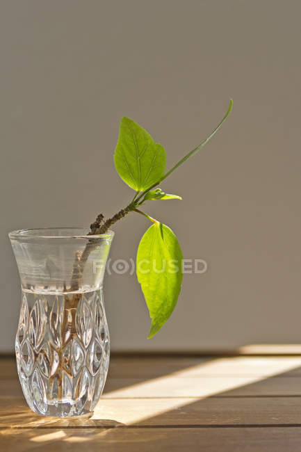 Hibiscus Root In Glass Vase On Table In Sunlight Color Image Copy
