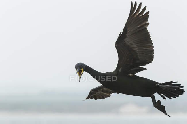 Баклан чубатий (Phalacrocorax aristotelis), середина повітря — стокове фото