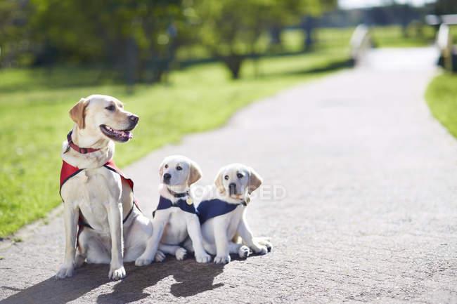 Trois guident chiens au dressage des chiens — Photo de stock