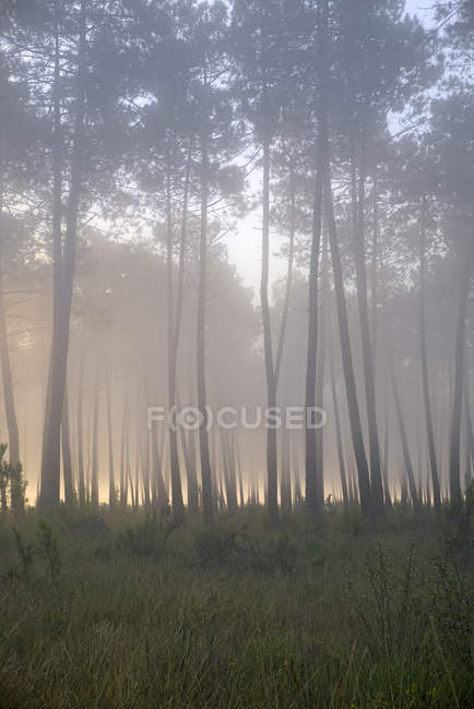 Pine forest in the morning light — Stock Photo
