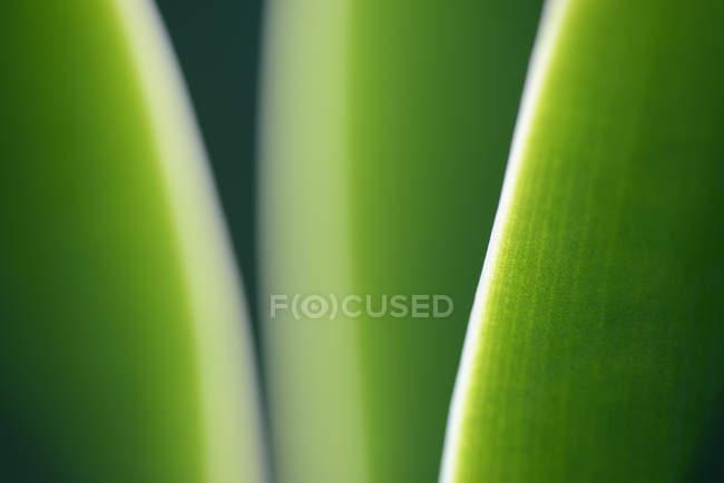Close-up de um Agave attenuata — Fotografia de Stock