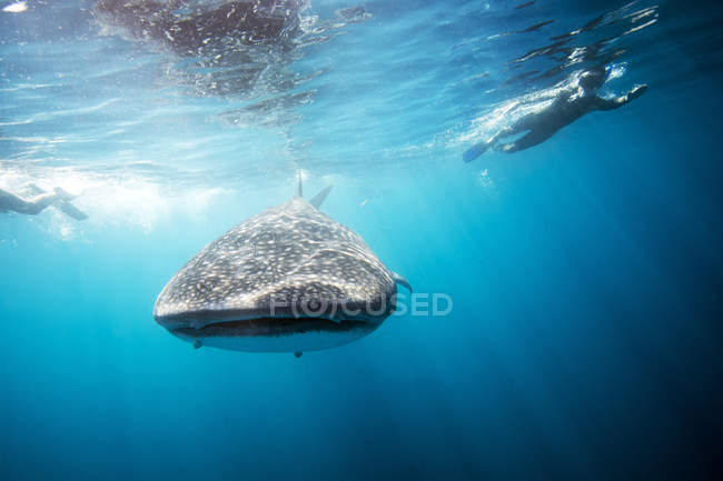 Mexico, Yucatan, Isla Mujeres, Caribbean Sea, Whale shark, Rhincodon typus, and divers bottom view — Stock Photo