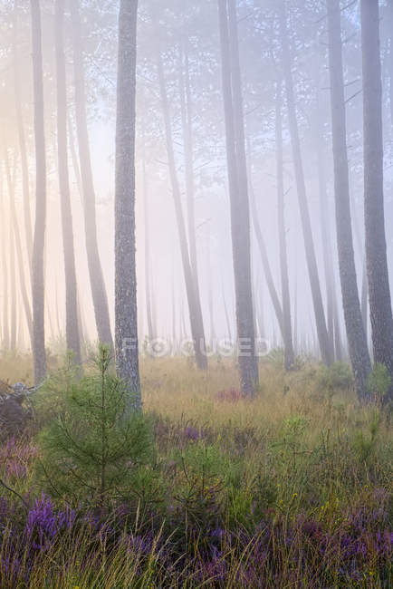 Соснового лісу в ранковому світлі — стокове фото