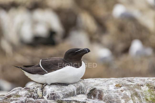 Angleterre, Northumberland, Farne Islands, Razorbill, Alca torda assis sur le rocher — Photo de stock