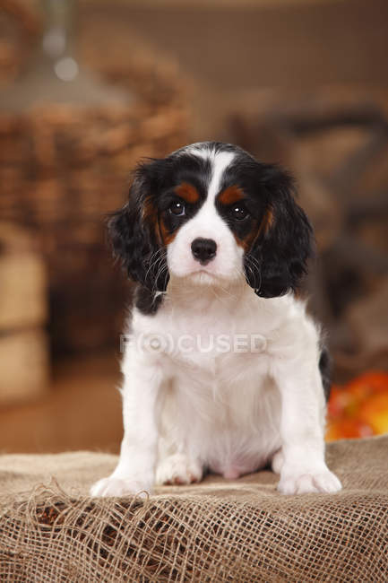 Close-up of Cavalier King Charles Spaniel puppy sitting on sackcloth — Stock Photo