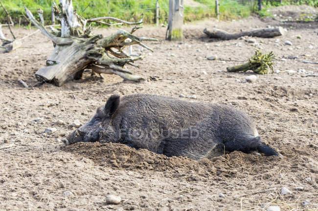 Wildschwein im Schlamm, Sus Scrofa schlafen — Stockfoto