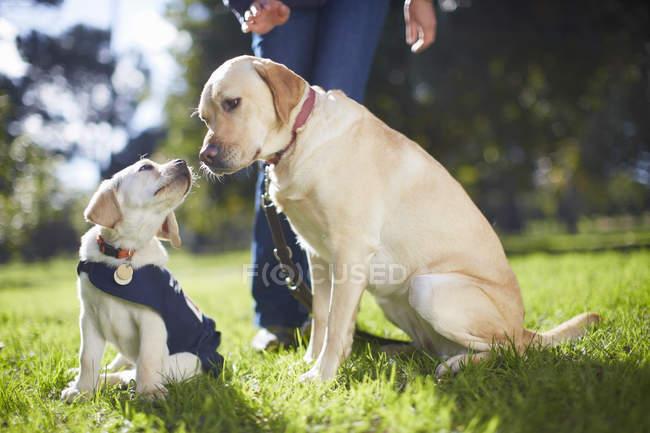 Blindenhunde, die sitzen auf dem Rasen im Hundetraining — Stockfoto