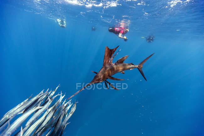 Мексика, Юкатан, Исла-Мухерес, Карибского моря. Индо-Тихоокеанский парусник охота сардины с дайверов на фоне — стоковое фото