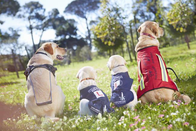 Tres perros guía en el entrenamiento de perros - foto de stock