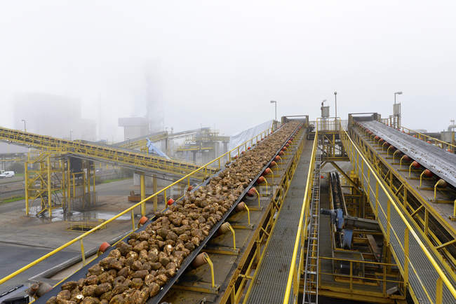 Conveyor belt with sugar beets at a sugar mill — Stock Photo