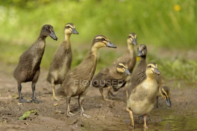 Acht junge Stockenten, anas platyrhynchos, spazieren am Wasser — Stockfoto