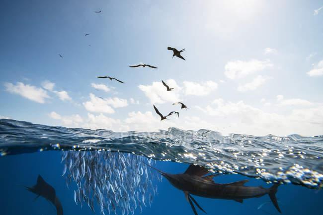 Mexico, Yucatan, Isla Mujeres, Caribbean Sea, Indo-Pacific sailfishes, Istiophorus platypterus, hunting sardines, Sardina pilchardus, Frigate birds — Stock Photo