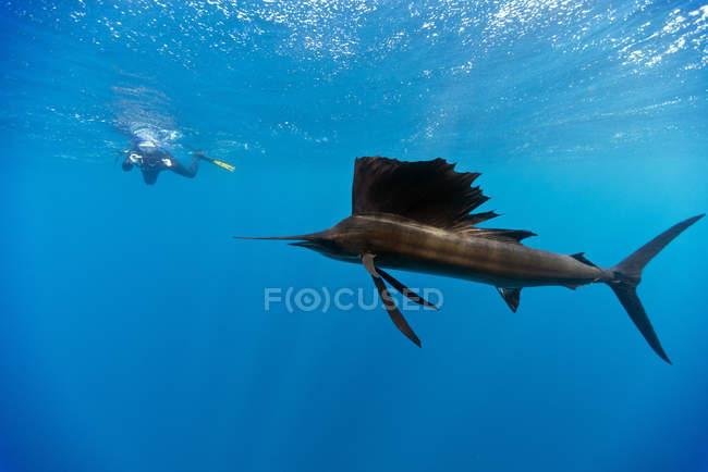 Indo-Pacific sailfish and diver swimming underwater — Stock Photo