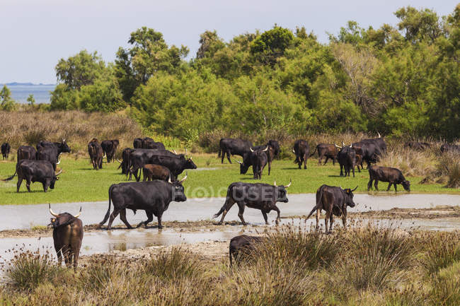 Стадо быков на природу заповедника, Камарг, Прованс, Франция — стоковое фото