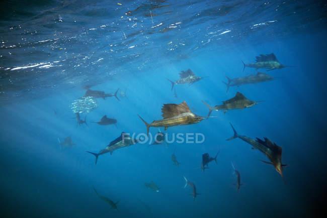 Messico, Yucatan, Isla Mujeres, Mar dei Caraibi, Pesci vela indo-pacifici, Istiophorus platypterus — Foto stock