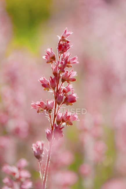 Fleurs de jardin roses sur fond flou — Photo de stock