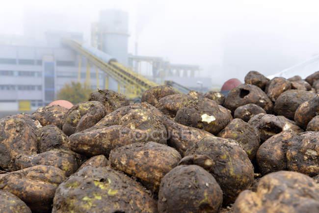 Nastro trasportatore con barbabietole da zucchero in uno zuccherificio — Foto stock
