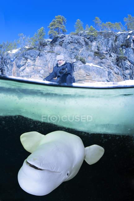 Россия, дайв-центр Северного полярного круга, Полярный круг, человек и белуги Кит под водой — стоковое фото