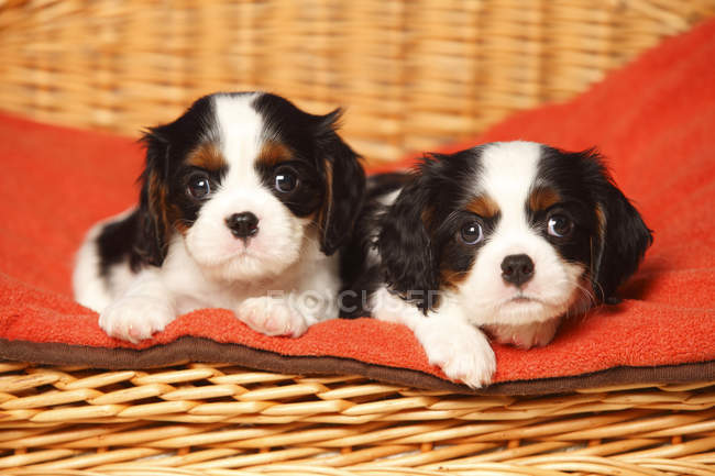 Two Cavalier King Charles Spaniel puppies lying on red blanket in basket — Stock Photo