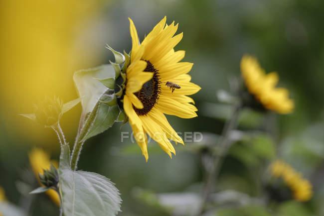 Fleur de tournesol, Helianthus annuus et abeille à miel sur vol de nourriture — Photo de stock