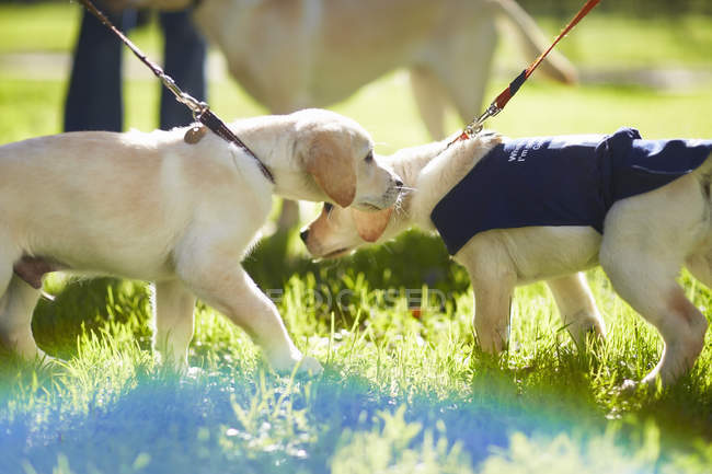 Guide dogs walking on grass during dog training — Stock Photo