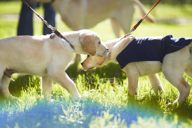 Blindenhunde, die zu Fuß auf dem Rasen im Hundetraining — Stockfoto