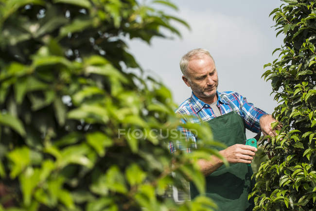 Mature farmer pruning plants in a park — Stock Photo