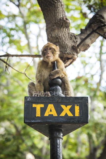 Gibraltar, Berberaffe auf taxischild sitzen — Stockfoto