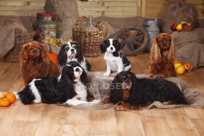 Seis Cavalier King Charles Spaniels sentada no chão de madeira no celeiro — Fotografia de Stock