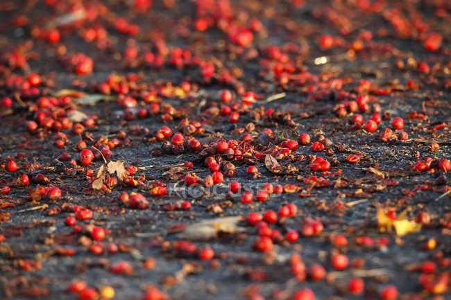 Rowanberries rojo en la luz de la mañana - foto de stock