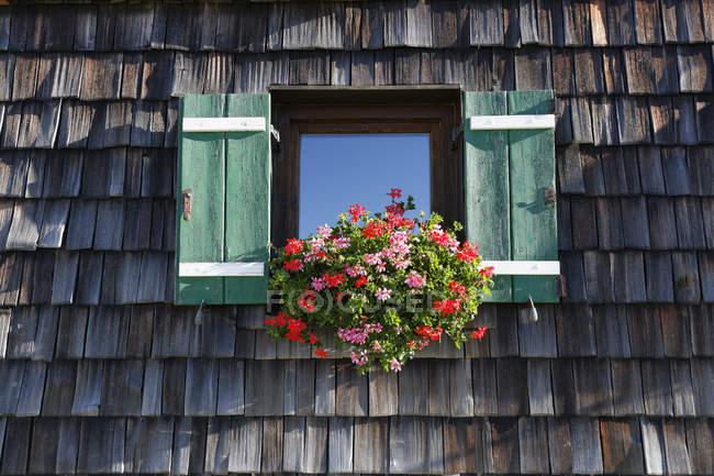 Cranesbill цветы в окне в дневное время — стоковое фото