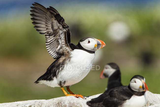 Regno Unito, Inghilterra, Northumberland, Farne Islands, Atlantic puffins, Fratercula arctica, puffin birds on stone, one is about to fly — Foto stock