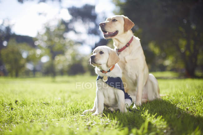 Two guide dogs at dog training  during daytime — Stock Photo