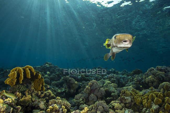 Egipto, Mar Rojo, globo estrellado, Arothron stellatus bajo el agua - foto de stock