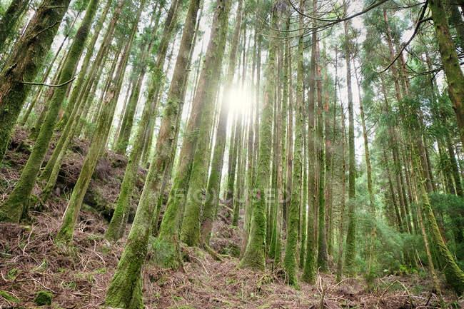 Солнечные лучи падают через деревья в лесу, Португалия, Азорские острова, Сан-Мигель — стоковое фото