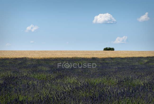 Francia, Provenza, altopiano di Valensole, giacimento della lavanda, Lavandula e frumento campo, Triticum — Foto stock