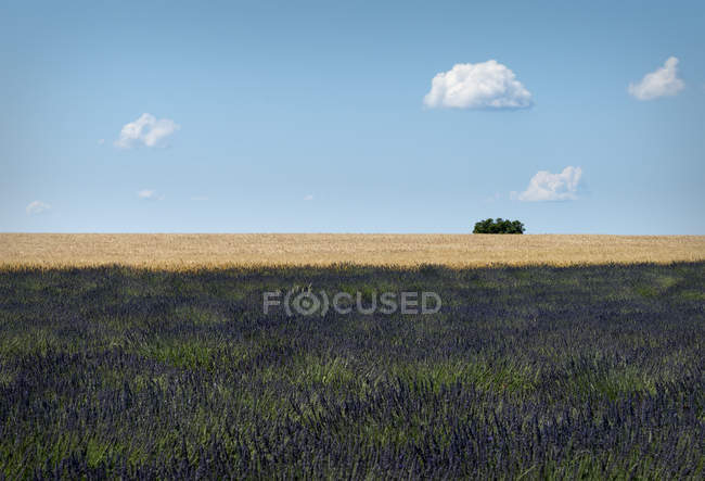 France, Provence, Valensole Plateau, Lavender field, Lavandula and wheat field, Triticum — Stock Photo