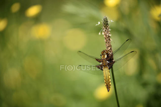 Libellula depressa dragonfly — Fotografia de Stock