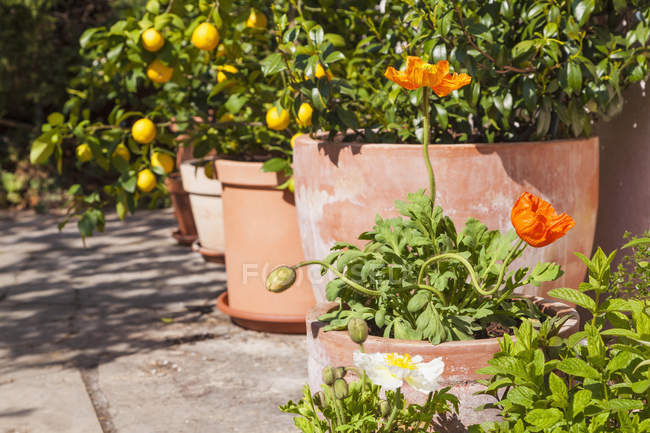 Citrus, poppies and common jasmine planted in clay pots standing in sunny garden — Stock Photo