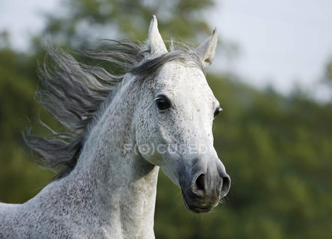 Germany, Baden-Wuerttemberg, Closeup view of Arabian horse galloping — Stock Photo