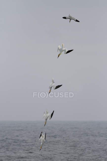 Сполучені Штати Америки, Англії, Північна олуша Сула bassana, птахи літають в рядок — стокове фото