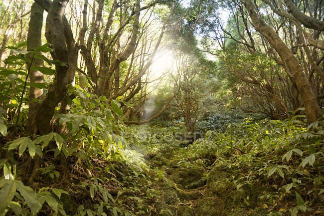 Portugal, Açores, Sao Miguel, Sentier forestier jusqu'à Lago Azul — Photo de stock