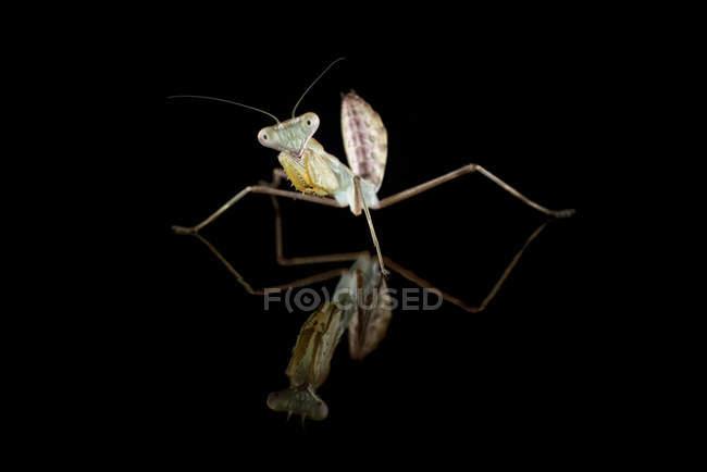 Riesigen asiatischen Gottesanbeterin Hierodula Membranacea, vor schwarzem Hintergrund — Stockfoto