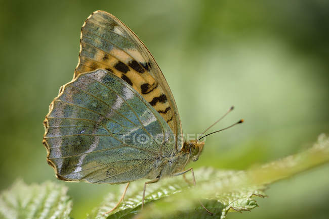 Argynnis-Paphia-Schmetterling — Stockfoto
